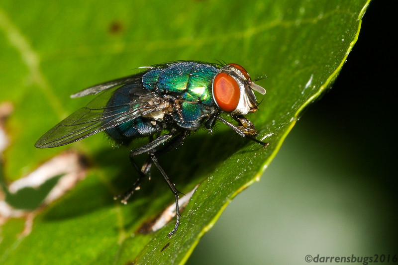 Green Bottle Fly (Calliphoridae: Lucilia sp.) from Iowa, USA.