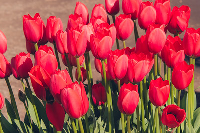 Woodburn Tulip Farm March 2015