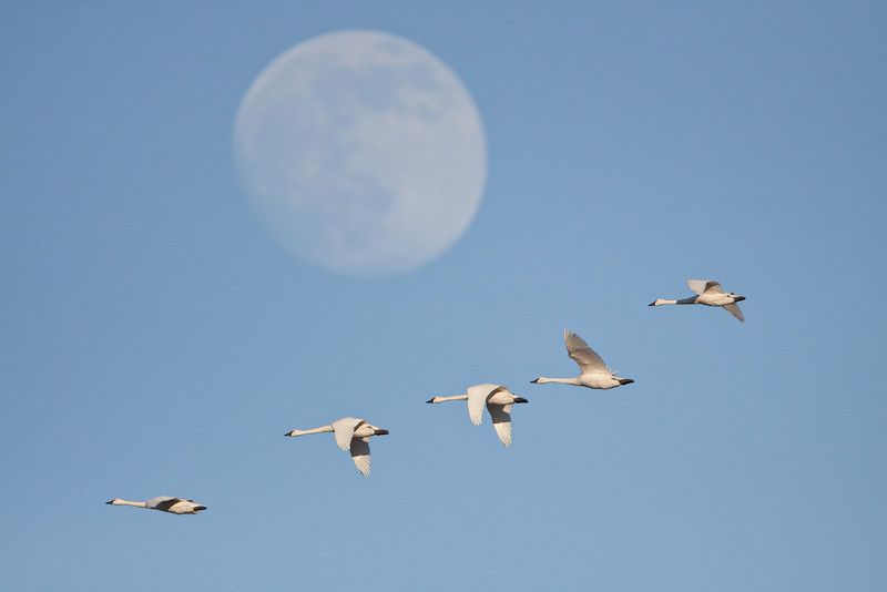 Tundra swan flock flying near moon.