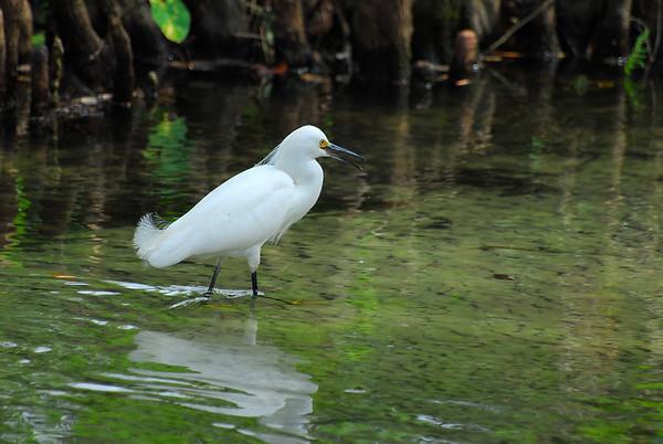 Herons - Egrets