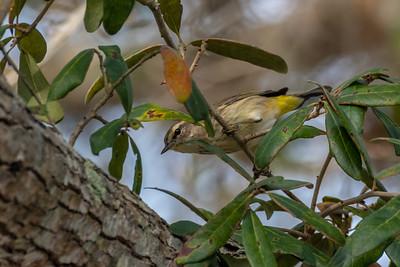 Palm Warbler (Setophaga palmarum)