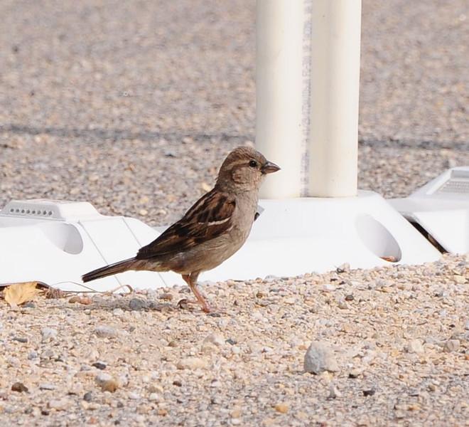 Female house sparrow. Taken in Decorah Iowa