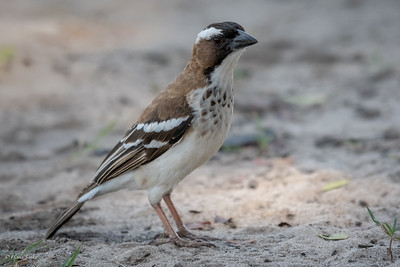 Sparrow-Weaver, White-browed (spp. pectoralis)