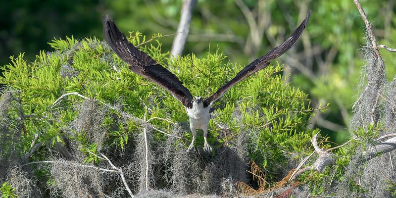 2021_KSMetz_Florida_Osprey Trip_April06_NIKON D5_0616-Edit.jpg