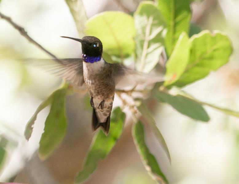 Black-chinned Hummingbird Beatty's Miller Canyon Apiary and Orchard southeast Arizona June 6-12 2019DSC00930.jpg