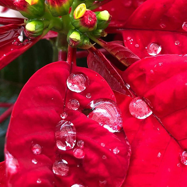 12_25_19 Christmas Morning Poinsettia.jpg