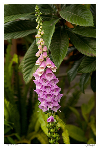 Foxglove (Digitalis) found in Ecuador