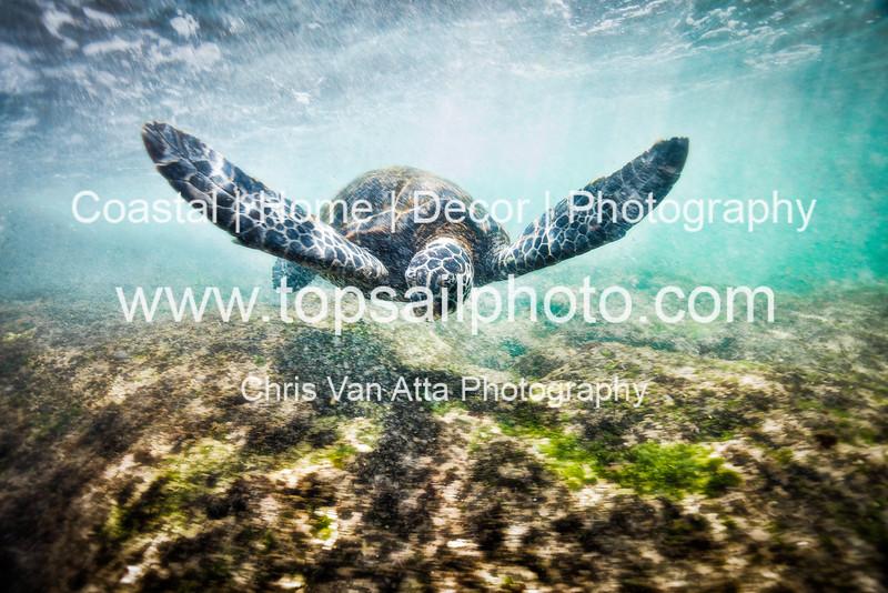 Green Sea turtle (1 of 20)-X3.jpg