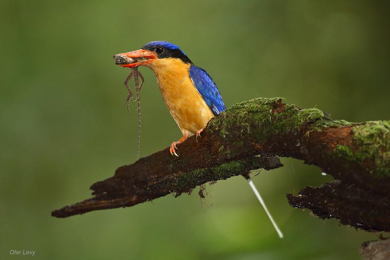 Buff-breasted Paradise Kingfisher 6.jpg