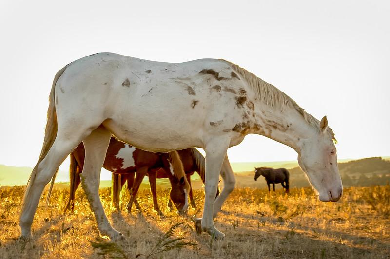 Backlit Wild Horse Grazing #4