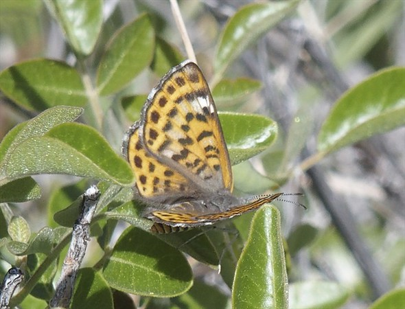Chisos MetalmarkApodemia chisosensis