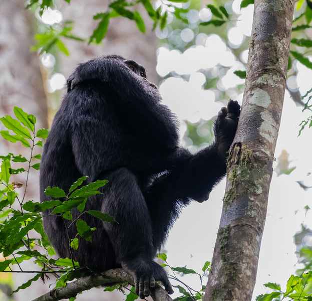 Uganda_T_Chimps-395.jpg