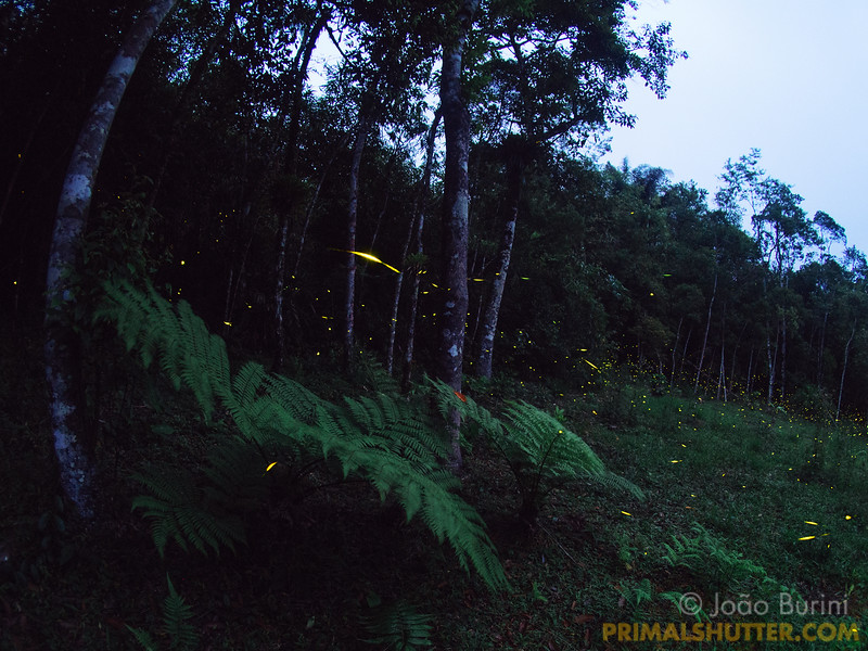 Fireflies on the forest border