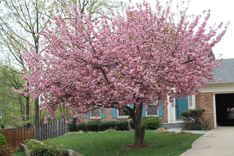 tree in Cerne3 front yard 4/11