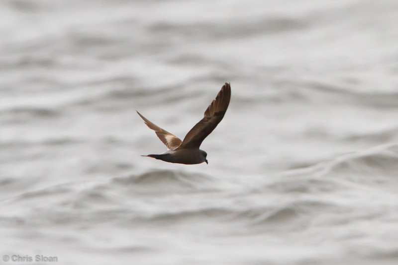 Ashy Storm-Petrel at pelagic out of Bodega Bay, CA (10-15-2011) - 213.jpg