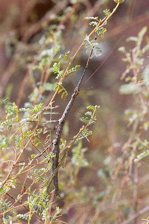 Walking Sticks Mating
