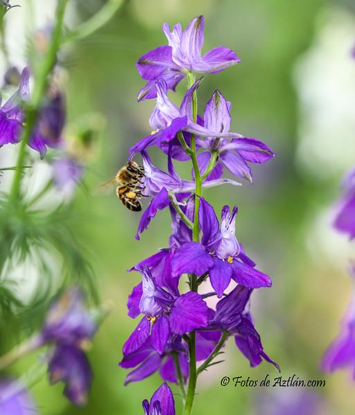 Bee-flower1 IMG_8279.jpg