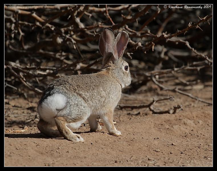 Desert Cottontail, Rabbit, Salton Sea, Imperial County, California, November 2009