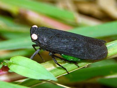 Fulgoridae - Lantern Flies