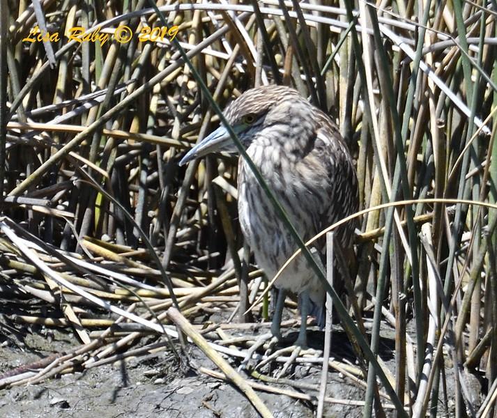 Juvenile Black-crowned Night Heron - 5/24/2019 - Famosa Slough