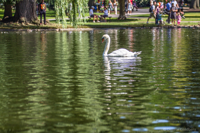 mute swan paddling > a walk in Boston