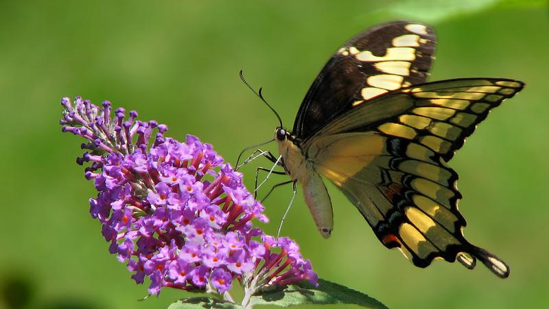 swallowtail_butterfly_6183.jpg