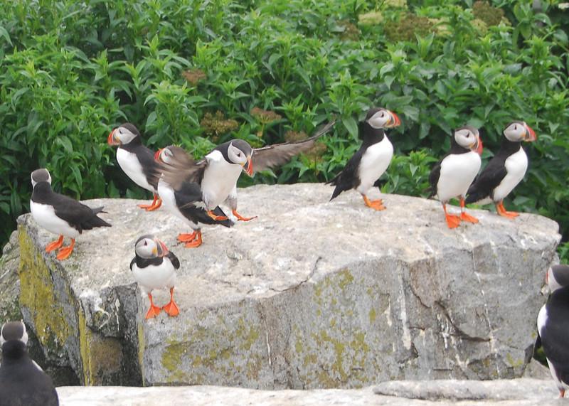Machias Seal Island Trip - 076
