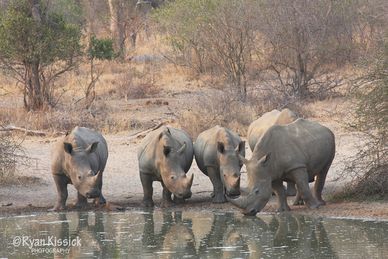 Black rhinos drink at a watering hole