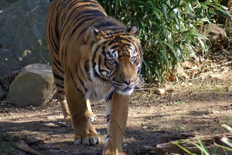 Tiger Poster.jpg