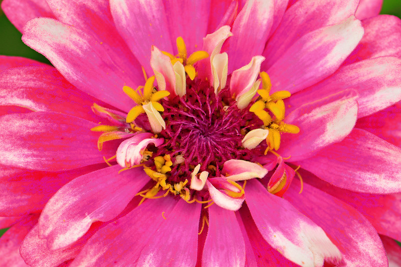 Pink and White Zinnia Portrait