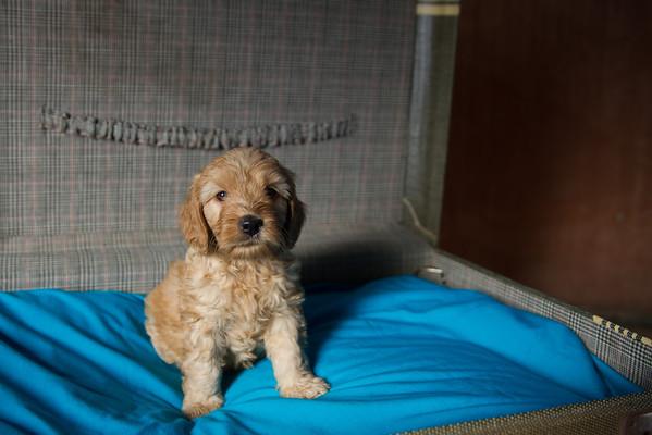 Stella Puppies - 5 weeks