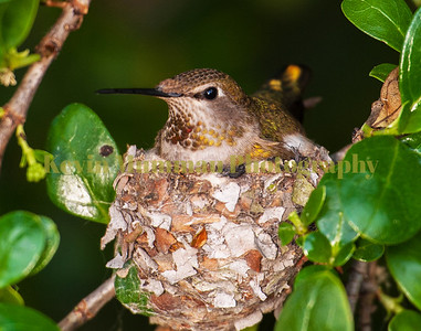 Nesting Hummingbird 3.19.17