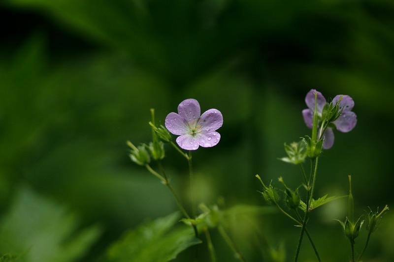 Arboretum Flower Iris-.JPG