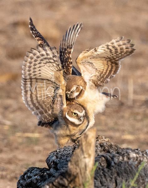 Burrowing Owl 21-60