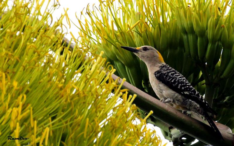 Female Golden-Fronted Woodpecker 7-5-15 106.jpg