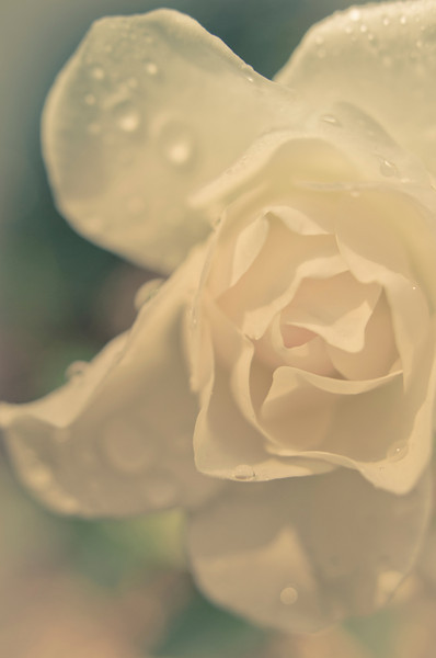 summer rose.tif