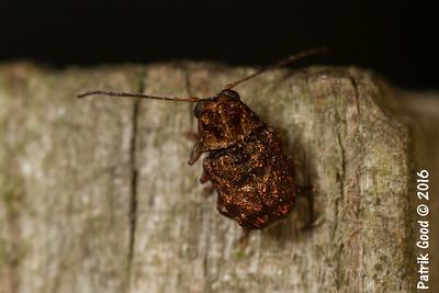Bronze Nugget Beetle
