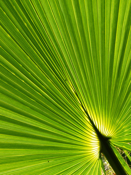 Frond, Campbell, California, 2010