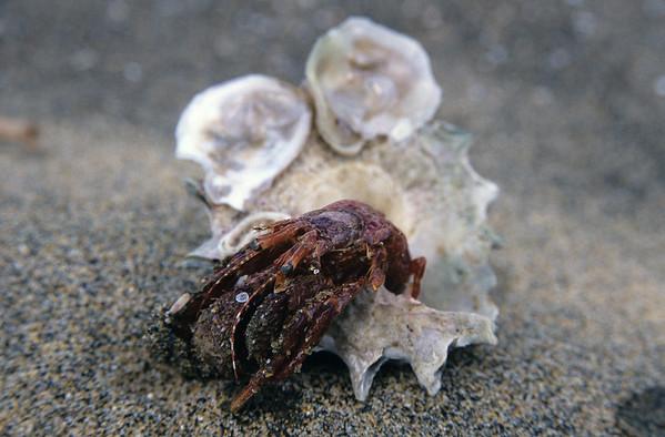 Diacanthurus spinulimanus - Hermit crab