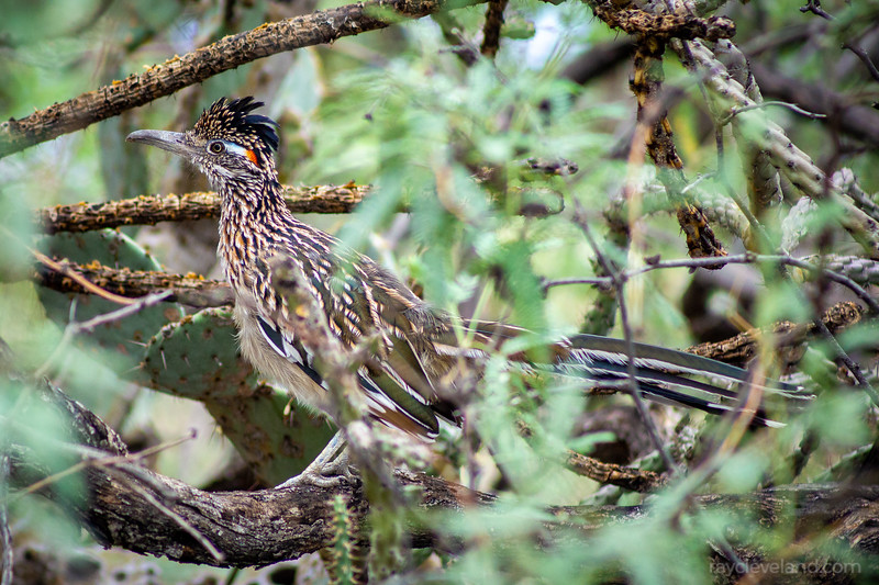 Went on another photo walk yesterday, this time at Sabino Canyon. I took the short Bajada loop trail and came across this roadrunner almost right away with a lizard in its mouth! I swapped to my zoom lens and looked for where it ran off to. I caught up with it again a few minutes later in some bushes wiping its beak on the branch that it's standing on.   From looking at this picture you can really see how well the roadrunner blends in with the desert around it. It's definitely one of my favorite birds to observe in the wild and Sabino Canyon is one of the best places to find them!