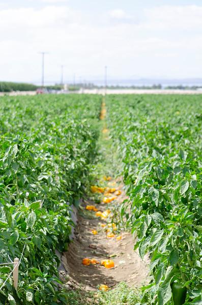 yellow-pepper-field.jpg