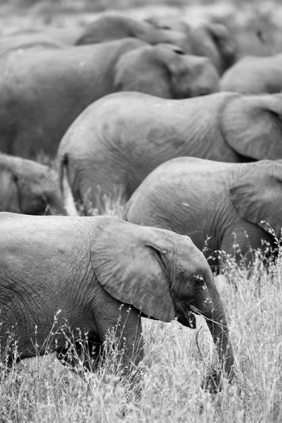 Elephant herd.