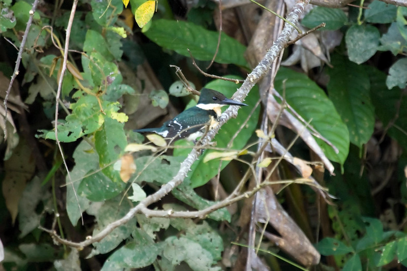 Green Kingfisher at Cocha Blanco near Manu Wildlife Center, Peru (2008-07-10).psd