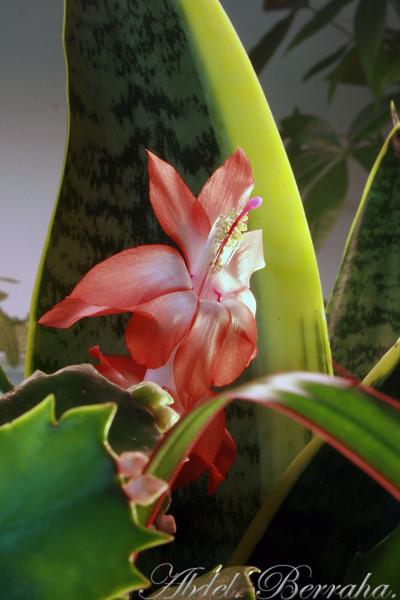 20081122_Cactus blossom_0256.jpg