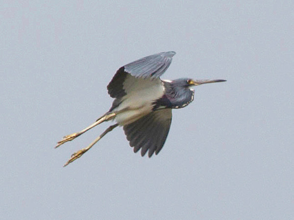 The little blue heron takes flight ...