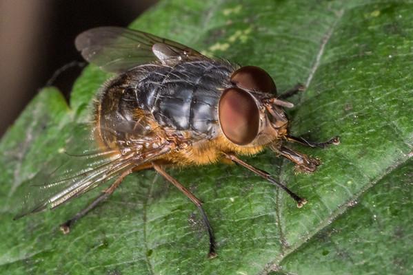 Calliphora stygia - Brown blowfly
