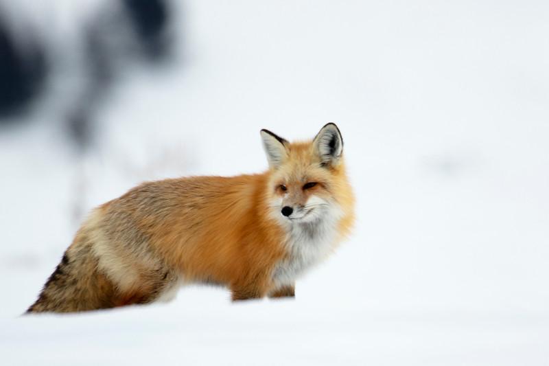387A9743 Red fox at Hayden valley close.jpg