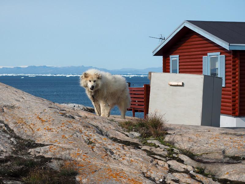 Sled dog in Ilulissat