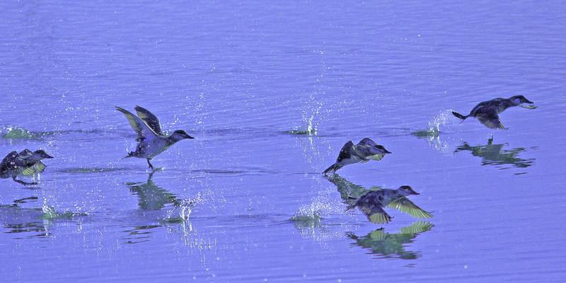Ruddy Duck's scootin'    (Las Gallinas)