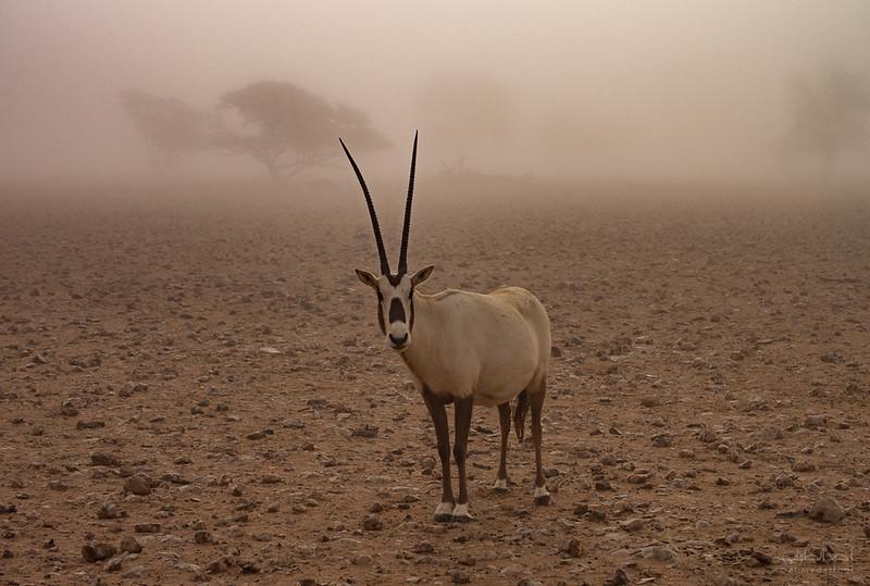 Arabian Oryx (77).jpg